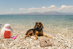 Dogs allowed on beach. A funny looking portrait with a dog wearing sunglasses reading the news. Royalty Free Stock Photography