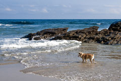 The dogs also have holidays. A dog playing with the waves during the holidays Royalty Free Stock Photography