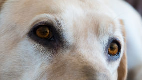 Dogs sad amber eyes Royalty Free Stock Photos