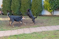 The dogs Appenzeller and puppy playing or fighting in the garden stock photo