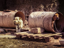 Dogs as slaves. Dogs like slaves in bad conditions Royalty Free Stock Photography