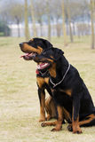 The dogs of asheng. Two asheng. they are very happy Stock Photography