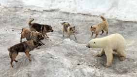 Dogs attacking polar bear. One to five: dogs attacking polar bear royalty free stock photography