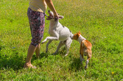 Dogs attacks woman while playing outdoor Stock Photo