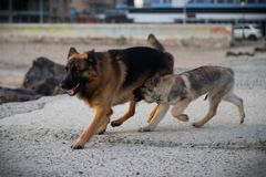 The dogs Attila and Baron playing. stock photo