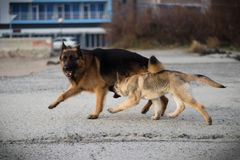 The dogs Attila and Baron playing. stock photography