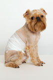 The dogs back pain. The dogs  breed Griffon Bruxellois back pain Stock Image