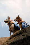 Dogs with Backpacks. Two dogs with backpacks paused while hiking on a mountain trail Royalty Free Stock Images