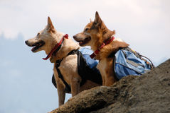 Dogs with Backpacks. Two dogs with backpacks paused while hiking on a mountain trail Stock Photo