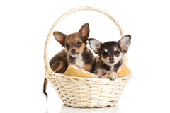 Dogs in the basket isolated on white background Stock Images