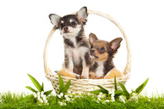 Dogs in the basket isolated on white background Royalty Free Stock Photography