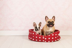 Dogs in basket. Two French bulldogs in red dotted basket in vintage room Royalty Free Stock Image