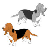 Dogs - Basset Hound Stock Image