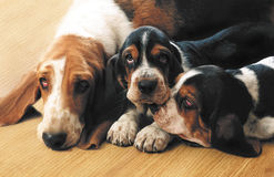 Dogs of Basset Hound Mom and Children stock photo