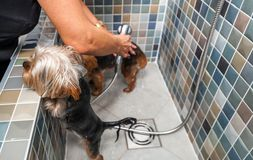 Two little wet cute and beautiful purebred Yorkshire Terrier dogs bath in the bathtub and washing fur selective focus. Dogs bathing. Two little wet cute and stock images