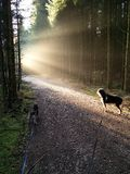 Dogs. Bavaria woods sunset stock image