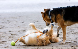 Dogs on the beach. Two dogs playing on the beach Stock Photos