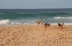 Dogs on the Beach. Stray dogs playing on the beach in Puerto Plata, Dominican Republic Stock Image