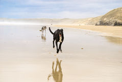 Dogs at the beach royalty free stock image