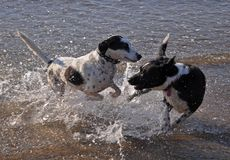 Dogs on beach Royalty Free Stock Photography