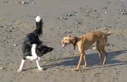 Dogs on Beach. Dogs on playing on beach Stock Image
