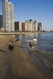 Dogs on the beach. Dogs playing on the beach in Chicago royalty free stock image