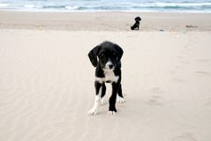 Dogs on the beach. Dogs playing on the beach Stock Photos