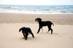 Dogs on the beach. Dogs playing on the beach Stock Image