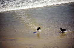 Dogs at the beach. Dogs playing in the sand near the surf at Dog Beach in Del Mar, southern California Royalty Free Stock Photos