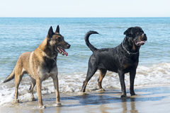 Dogs on the beach Stock Photo