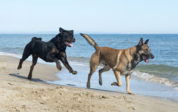 Dogs on the beach. Belgian shepherd and rottweiler on the beach Royalty Free Stock Images