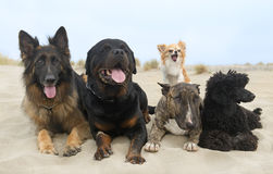 Dogs on beach Royalty Free Stock Image