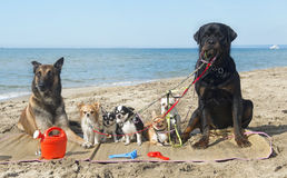 Dogs on the beach. Group of purebred dogs on the beach Stock Images