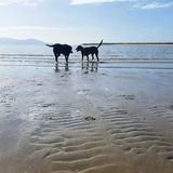 Dogs on the beach. Labrador and Kelpie dogs playing in ocean on a bright summer morning. In Townsville Australia Stock Image