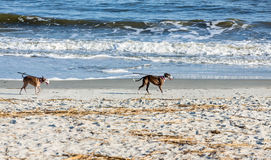 Dogs on Beach with Leashes Royalty Free Stock Photos