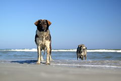 Dogs at the beach Royalty Free Stock Photos