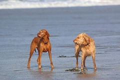 Dogs on a Beach Royalty Free Stock Photos