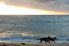 Dogs on the beach at Sunrise Stock Images