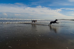 DOGS IN THE BEACH royalty free stock photography