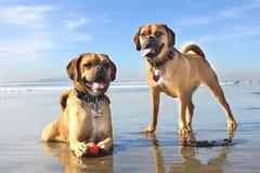 Dogs on the Beach. Two puggles on Dog Beach in Huntington Beach, California Royalty Free Stock Photo