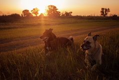2 dogs in a beautiful summer field at sunset stock photos