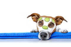 Dogs with a beauty mask wellness spa. Jack russell dog relaxing  with beauty mask in  spa wellness center , moisturizing cream mask and cucumber , isolated on Stock Images