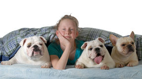 Dogs in the bed. Two english bulldogs and a french bulldog under the covers with preteen girl isolated on white background Royalty Free Stock Images