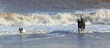 Dogs on beech paddling Stock Photos