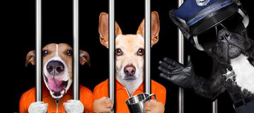 Dogs behind bars in jail prison. Couple of criminal dogs behind bars in police station, jail prison, or shelter for bad behavior, police officer to the side royalty free stock photos