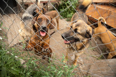 Dogs behind fence in shelter. Dogs in shelter behind bars in shelter Royalty Free Stock Image
