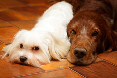 Dogs. Big red dog and little white dog Stock Photo