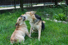 Dogs biting. Two dogs playing and biting in backyard royalty free stock image