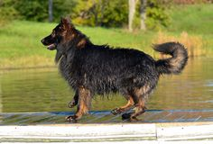 Dogs 304 Royalty Free Stock Image