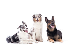 2 dogs blue merle and sheppard. Happy dog photographed in the studio on a white background stock photography